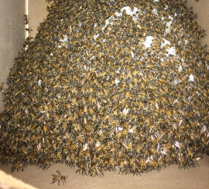 Swarm of bees in Las Vegas.