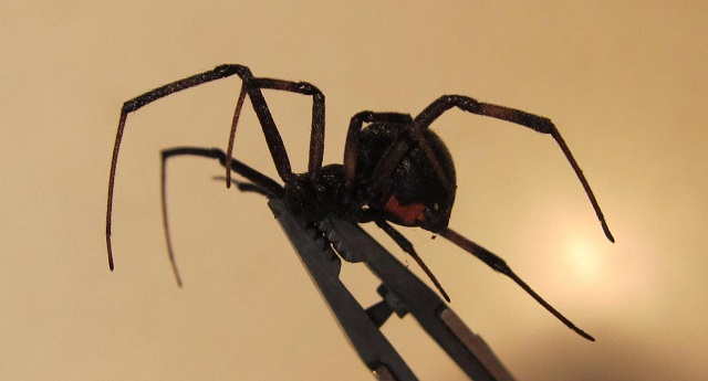 black widow spider pest control