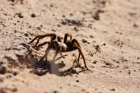 spider in the desert